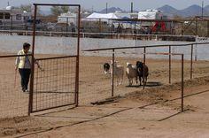 HTCh BigNBad's Lucky Chance (Ace), HXAs, HRDIIIs/HTADIIIsdg,/HTDIIIsd/HTADIc, ATDsd/OTDc at his first AKC herding trial. #herding #bordercollie herd bordercolli, herd trial, akc herd