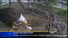 The bald eagle cam has landed- 3 million views and counting!