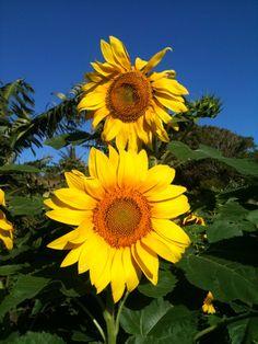 More beautiful sunflowers at  #DerbyFarm! #HawiNiceDayFarm http://www.hawaiilife.com/agent/150084/brooke-derby/
