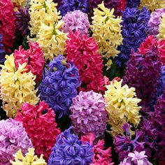plant, favorit flower, colors, colorful perennials, gardens, beauti, hyacinth, flowers, dream houses