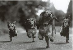 The Running of the Dachshunds!