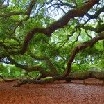 I love the angel oak, I love to go there and have picnics and just relax, it is so peaceful under that tree!!