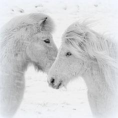 iceland poni, pretti hors, white hors