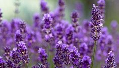 Six plants that repel mosquitoes