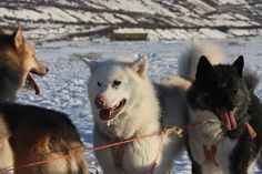Iceland sled dogs