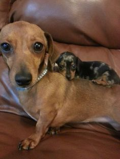 I got your back! Dachshund and baby. - looks like my old dogs Sweetpea and a baby Flash :)