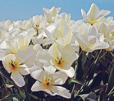 Tulip White Emporer 12 for $10.95