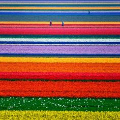 The Tulips of Holland