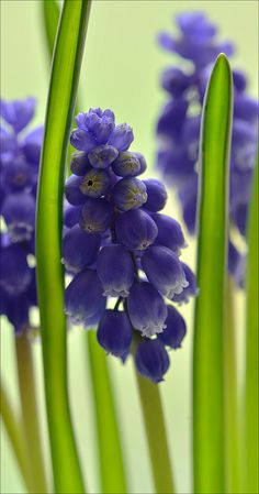 Muscari - Grape Hyacinth
