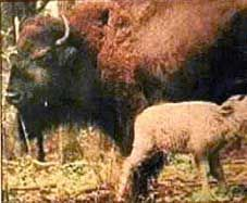 1994: A symbol of hope, rebirth & unity for Native Americans has been born in the form of a white buffalo. The rare birth, born in Wisconsin, has great cultural significance for the Great Plains Native American tribes. A Sioux medicine man from South Dakota says the arrival of the white buffalo is like the Second Coming of Christ. The odds of a white buffalo being born is 1 in 6,000 million. Some believe this buffalo is a messenger of creation.