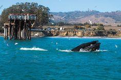 Humpback whales thrill crowds at San Simeon Pier   Environment   SanLuisObispo