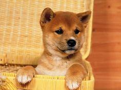 Shiba Inu puppy, gosh I love puppies!