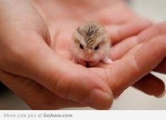 Little baby hamster