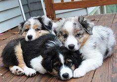 All Australian Shepherds, All the Time puppi, australian shepherd, dog