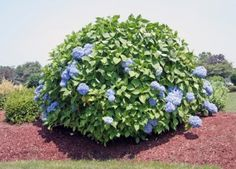 Great pruning advice for hydrangea