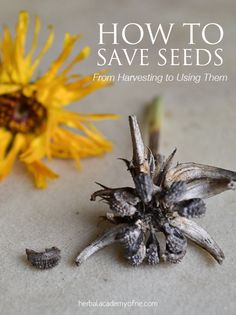 How to Save Seeds and what to do with them! Harvesting instructions and recipes included ;)
