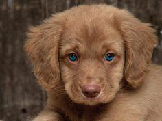 anim, little puppies, golden retrievers, nova scotia, pet, cavalier king charles, dog, baby blues, puppy eyes