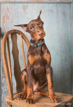 young dobie pup jinx12-2849-Edit by drpotter_2807, via Flickr