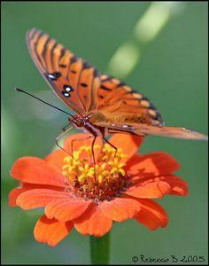 orange butterfly and orange flower