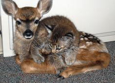 unlikely friends after wild fire....3 week old bobcat and 3 day old fawn