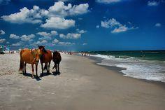 Assateague Island, Maryland. Wild horses run free.