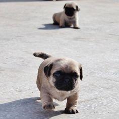 awww... Baby puggies! I want one!!!