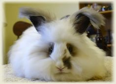 English Angora Baby Bunnies & Expected New Arrivals