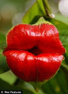 """This unusual plant resembles red lips.  With a scientific name of """"Psychotria Elata,"""" this species also goes by the fitting names of the Hot Lips Plant, Flower of Lips or even Hooker's Lips. The plant can be found in forested areas of tropical America such as Costa Rica and Colombia."""
