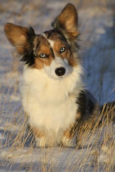 I prefer Pembrokes, but this Blue Merle Cardigan Welsh Corgi with Blue eyes is lovely.