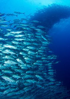 Schooling Big Eye Trevally at Cocos by Jaw's Dad, via Flickr