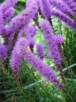 Bulk Liatris. Starting at $99.95. Common Name: Liatris, Purple Poker, Kansas Gay Feather, Button Snakeroot, Blazing Star, Spire, Spike, Gay Feather, Blazing Star    Description: Small clusters of flowers from the top of the spike downward.  Individual flowers with needle-like petals on dense spikes 6 inches long at stem ends.  Stems with linear leaves with length running between 24-32 inches long.