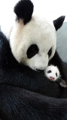 Giant Panda Bear with newborn, Taipei!