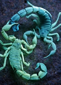 2 highly venomous North African Fat-tailed Scorpions (Androctonus sp.) glow under UV lights, as they fight.