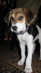 ***THIS IS MY FOSTER DOG! CHECK HER OUT!*** Georgia is an adoptable Beagle Dog in Media, PA. 4/19/12 - Georgia s an 8 week old beagle/foxhound mix that was rescued from a rural, high kill shelter in the south. Georgia and a few of her siblings ...