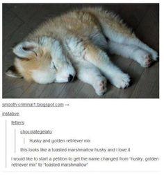 Husky golden retriever cross puppy