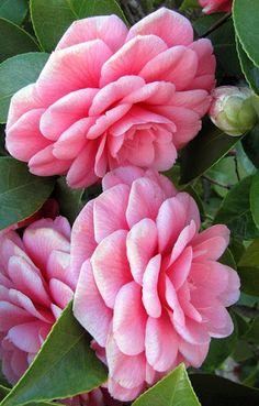 Pink camellias