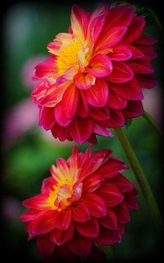 flowersgardenlove:    Dahlias Flowers Garden Love