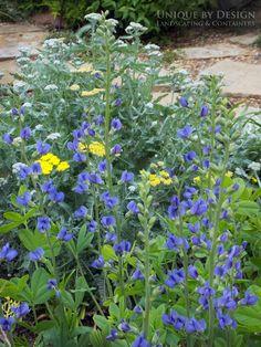 Indigo Blue Baptisia with Yarrow.