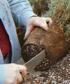 rosemary grow, planting rosemary, rosemary plant, growing rosemary, propag rosemari, herbs garden, prune rosemari, potted rosemary, pot rosemari