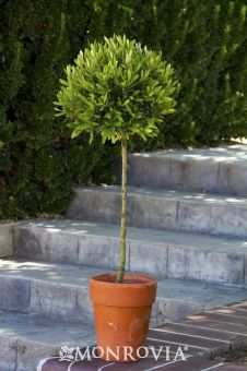 Little Ollie Dwarf Olive Tree (Olea europaea 'Montra') is a non-fruiting olive tree, useful for topiaries, Zones 8-11 cold-hardiness.