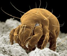 Coloured scanning electron micrograph of a meal (or flour) mite (Acarus siro). It has long hairs extending from its body and large powerful front legs. This species is a common pest of granaries, mills and kitchens, feeding particularly on grains and cereals.