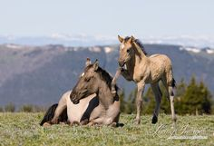 This wild filly Madison is trying to get her mother Brumby up in the Pyror Mountains of Montana.