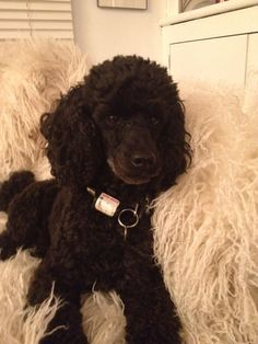 #Poodle #black #toy #Middy X