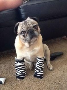 babi leg, pug, leg warmers