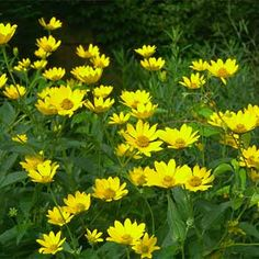 Heliopsis helianthoides, false sunflower, flourishes in clay soil. In full sun it grows to an impressive 5 ft with long-lasting blooms. Hardy to Zone 4.