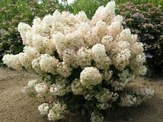 'Hydrangea Bobo' is a prolific flowering shrub with white flowers that bloom from summer to fall.