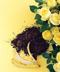 Just flatten a banana peel and bury it under one inch of soil at the base of a rosebush. The peel's potassium feeds the plant and helps it resist disease.