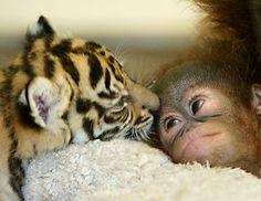 Baby tiger & orangutan