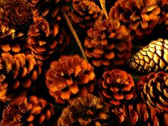 Collecting Pine Cones For Crafts Is Profitable, but you need to find out the legality.......
