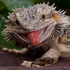 Bearded dragon tongue - say cheese!